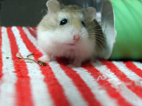 stripe-hamster.jpg