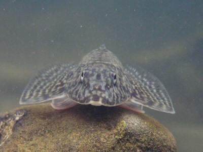 弱気な水中写真・ツバサハゼ